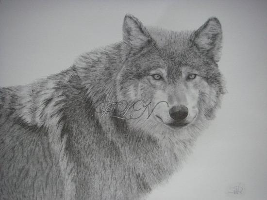 Loup (avril 2009)